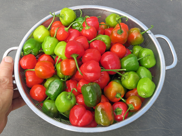 Malawi Piquante peppers