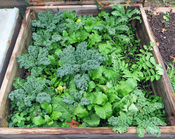 cold frame bed planted with kale and turnips