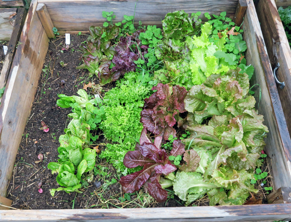 cold frame bed planted with lettuce