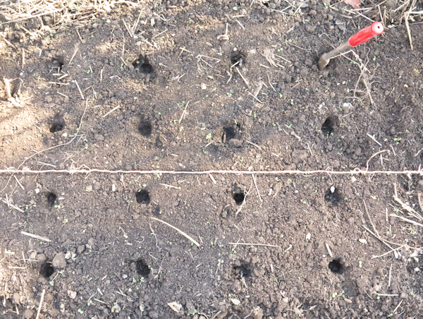planting holes showing spacing