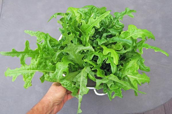 Salad Bowl/Oak Leaf lettuce