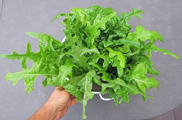 Salad Bowl/Oak Leaf lettuce