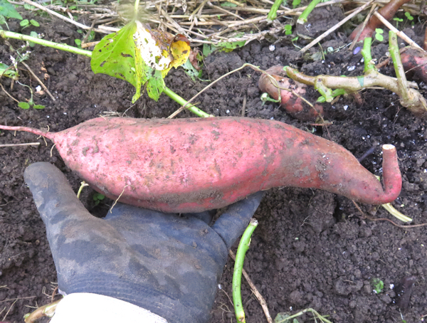 just dug Beauregard sweet potato