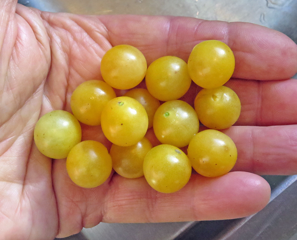 Champagne Cherry tomatoes