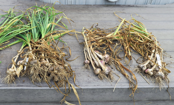 freshly dug garlic