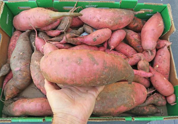 Beauregard sweet potatoes