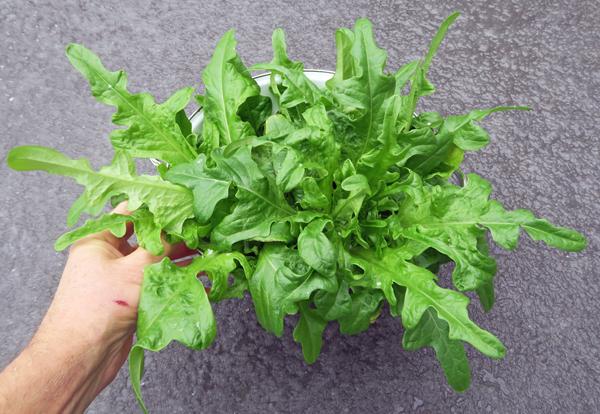 Salad Bowl lettuce