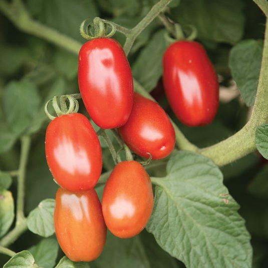 Tomato Valentine