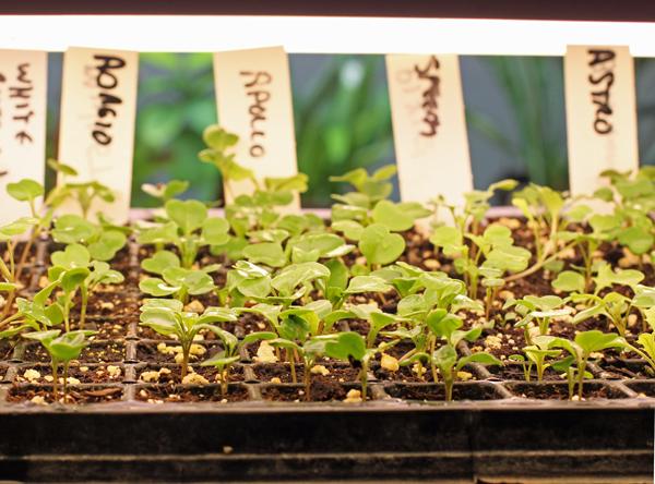 arugula seedlings