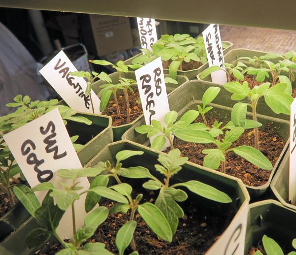early tomato seedlings