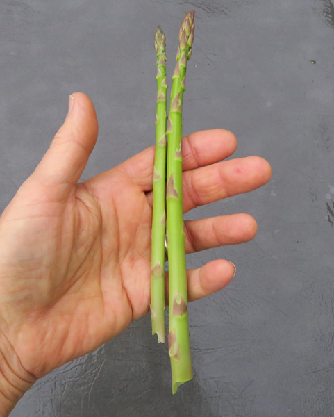 first asparagus of 2018