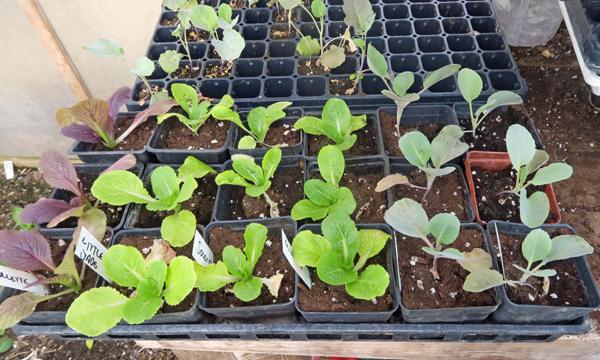 cabbage plants