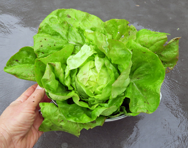 Hungarian Winter Pink lettuce
