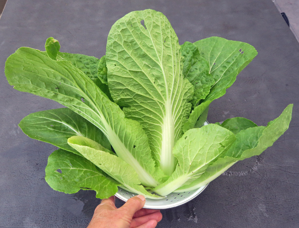 young napa cabbage