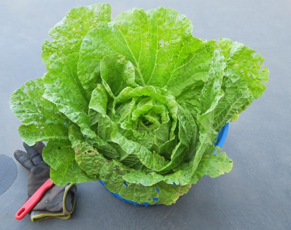 Little Jade cabbage