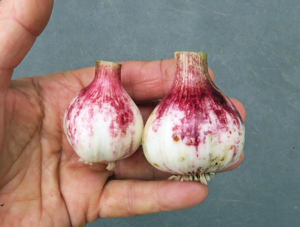 Red Janice garlic
