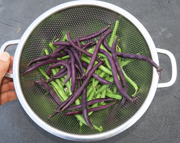snap beans Derby and Purple King
