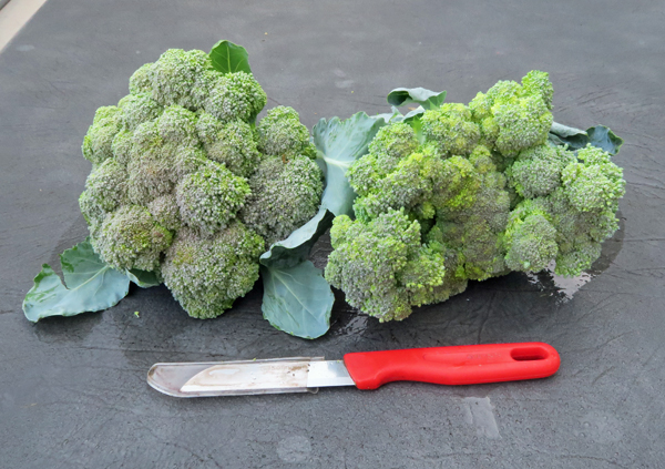 first broccoli