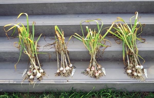 harvest of early garlic