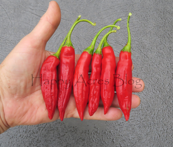 Aji Angelo peppers