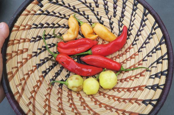 Kaleidoscope, and Sugar Rush Cream peppers