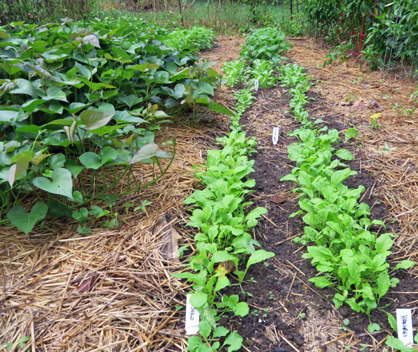 double row of turnips