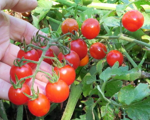 cluster of Jasper tomatoes