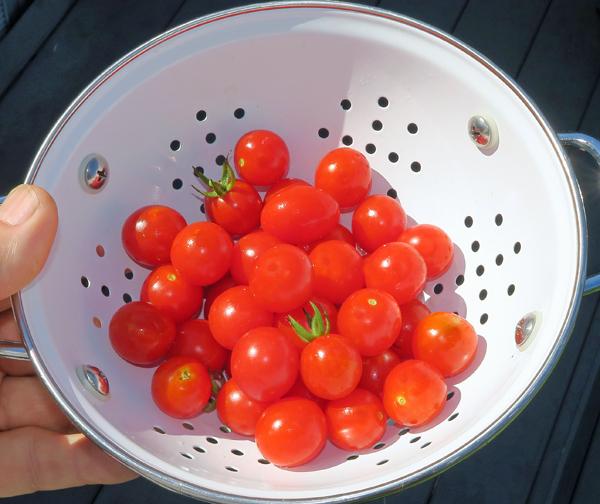 Jasper tomatoes in the morning sun