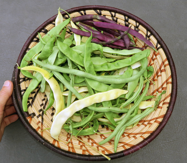 harvest of pole beans