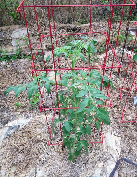 Defiant tomato