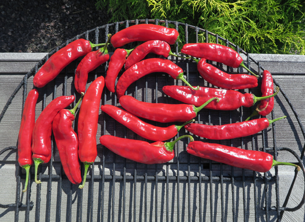 Dulce Rojo peppers ready for smoking