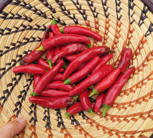 Lady Choi hot peppers