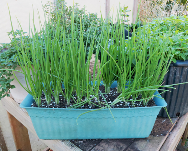 I'itoi onions planted in a container