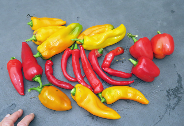 assortment of sweet peppers