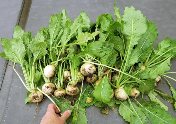 Hakurei and Oasis turnips