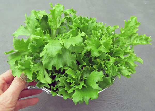 Ezrilla lettuce