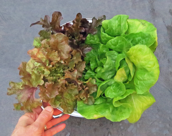 lettuce for salad