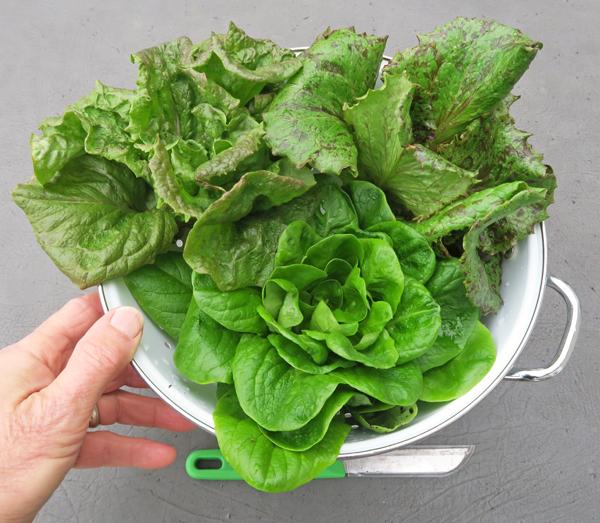 lettuce trio