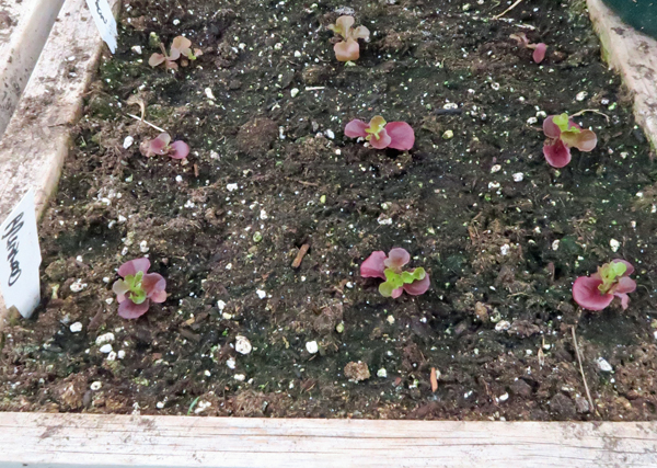 leaf lettuce in salad box