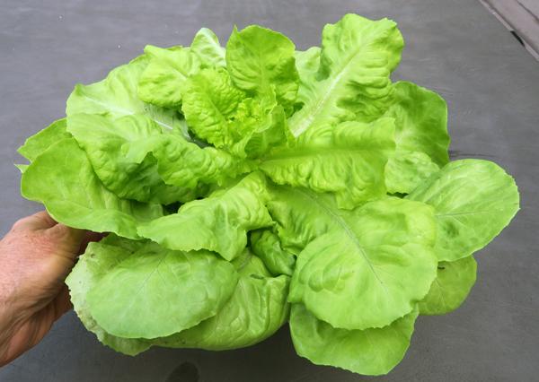 Mirlo lettuce