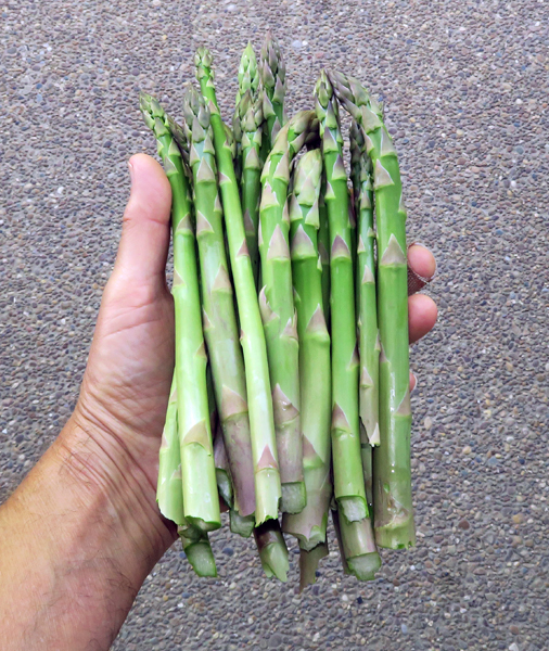 daily haul of asparagus