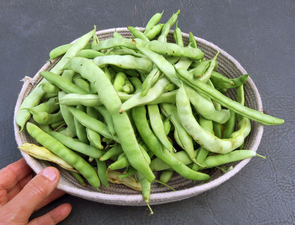 harvest of pole beans