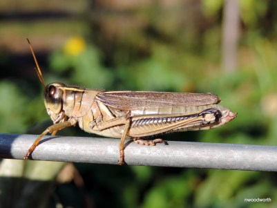 One of the more easily identifiable grasshoppers, this two-striped grasshopper feeds on broadleaves & grasses.
