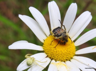 This hairy flower scarab is in the scarab beetle family, along with dung beetles & june bugs! These pollen eaters are bumble bee mimics, their furry appearence often causing them to be mistaken for a bee. A goldenrod crab spider lurks nearby.