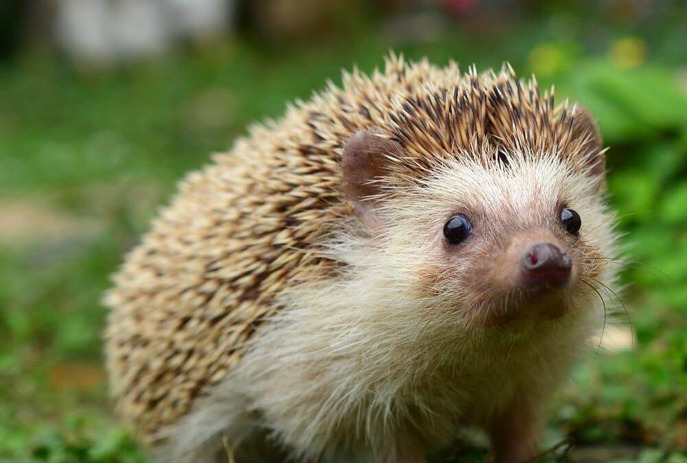 National Hedgehog Day – February 2, 2021