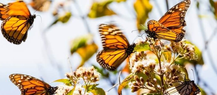 Western Monarch Day – February 5, 2021
