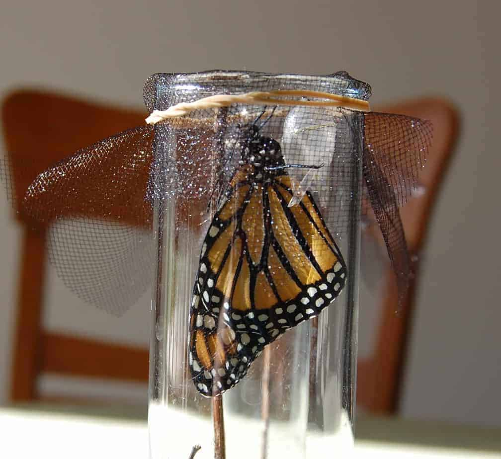 How to Raise and Release your Own Monarch Butterflies!