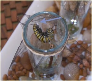 Raise and Release your Own Monarch Butterflies!