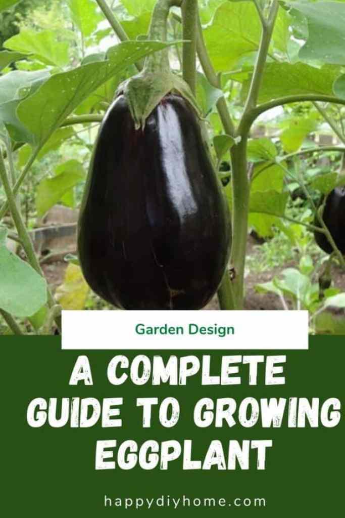 Growing Eggplant 1