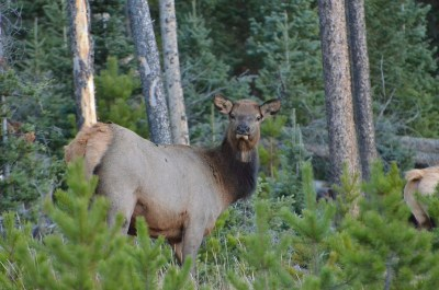 elk-cow-wayne-d-lewis-dsc_1441